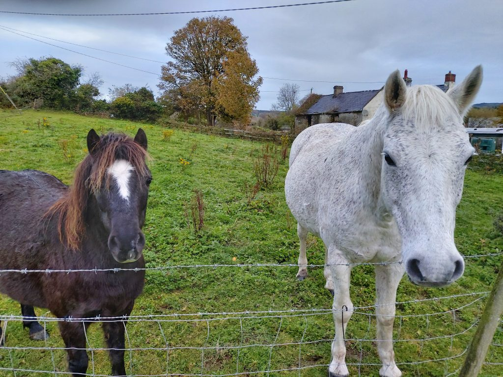 Two horses, coming regularly to my garden.